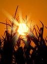Brilliant orange sunrise over a Corn field Stock Images
