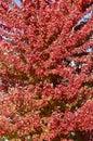 Brilliant Red Autumn Maple Leaves
