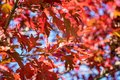 Brilliant red oak leaves in fall Royalty Free Stock Photo
