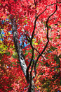 Brilliant red tree of autumn with black limbs Royalty Free Stock Image