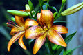 Brilliant Tiger Lilies Stock Image