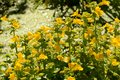 Brilliant yellow mimulus flowers by pond Royalty Free Stock Photo