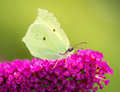Brimstone Butterfly Royalty Free Stock Photo