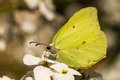 A brimstone butterfly on hespiris Royalty Free Stock Photo