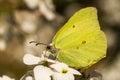 A brimstone butterfly on hespiris Royalty Free Stock Photo