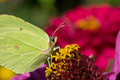 Brimstone butterfly in setting sun a on brightly colored flower the Royalty Free Stock Photography
