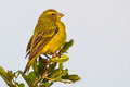 Brimstone Canary, Perched Royalty Free Stock Photo