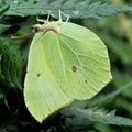 Common Brimstone Gonepteryx rhamni Royalty Free Stock Photo