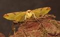 Brimstone moth. Royalty Free Stock Photo