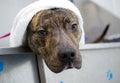 Brindle American Pitbull Terrier Dog in bath tub Royalty Free Stock Photo