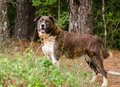 Brindle Anatolian Shepherd Pyrenees mixed breed dog Royalty Free Stock Photo