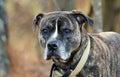 Brindle Boxer Mastiff Bulldog Royalty Free Stock Photo