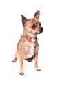 Brindle chihuahua Royalty Free Stock Image