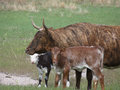 Brindle cow a with two colorful calves out in the pasture Stock Photo