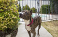 Brindle dog posing by a bush pitbull outside in the yard Royalty Free Stock Photos