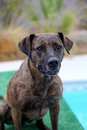 Brindle dog smiling and posing for portrait a her photo at the pool sitting on the dock Royalty Free Stock Images