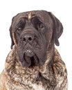 Brindle english mastiff dog closeup a photo of a beautiful big with a coat Royalty Free Stock Images