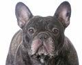 brindle french bulldog Royalty Free Stock Photo