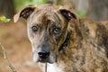 Brindle Great Dane mixed breed dog Royalty Free Stock Photo