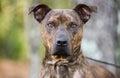 Brindle Pit Bull Terrier bulldog Royalty Free Stock Photo