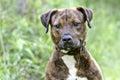 Brindle Pitbull Terrier mixed breed dog Royalty Free Stock Photo