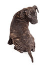 Brindle puppy sitting looking back a cute little pit bull mixed breed with a coat facing away and turning head to look Royalty Free Stock Image