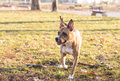 Brindle staffordshire playing outdoor american terrier Royalty Free Stock Photos
