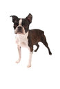 Brindle and White Boston Terrier Stading Stock Photos