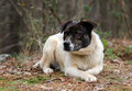Brindle and white cattledog mixed breed Dog Royalty Free Stock Photo