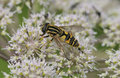 Brindled Hoverfly or Sunfly Royalty Free Stock Image