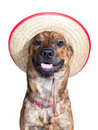 A brindled plott hound wearing a hat