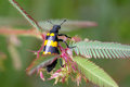 Bristle Beetle on the mimosa Royalty Free Stock Image