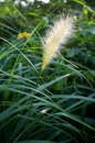 Bristle grass Royalty Free Stock Photography