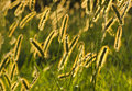 Bristle grass in sunset light close up of yellow brass yhe Stock Photography