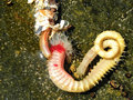 Bristle and ragworms a close up view of entangled rag worm in a rock pool on the south africa coast Royalty Free Stock Image