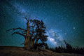 Bristlecone pine, Milkyway galaxy, Utah Royalty Free Stock Photo