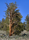 Bristlecone Pine Tree, California Stock Images