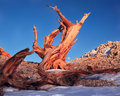 Bristlecone pine in the White Mountains Royalty Free Stock Photo