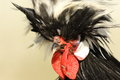 Bristled rooster portrait Royalty Free Stock Photo