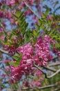 Bristly locust in bloom