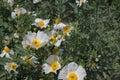 Bristly Matilija Poppy flowers