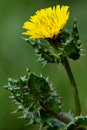 Bristly oxtongue picris echioides prickly plant in the daisy family asteraceae with yellow flower and prickly leaves Stock Images