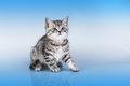 Britain's little kitten Royalty Free Stock Image