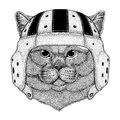 Brithish noble cat Male Wild animal wearing rugby helmet Sport illustration