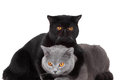 British blue and Black Persian cats Stock Photography