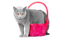 British blue cat standing near pink basket Royalty Free Stock Photo