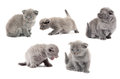 British blue shothair kittens Royalty Free Stock Image