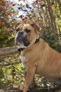 British Bulldog Puppy Royalty Free Stock Image