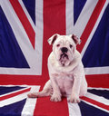 British bulldog a white sitting on the the flag of england Royalty Free Stock Photography