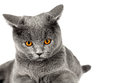 British cat Royalty Free Stock Images